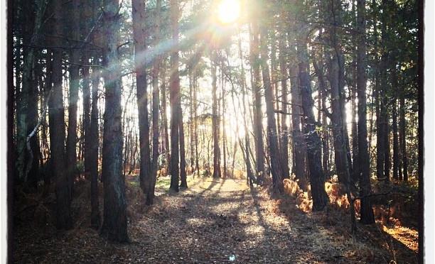 Low winter sun. #winter #woodland #camberley