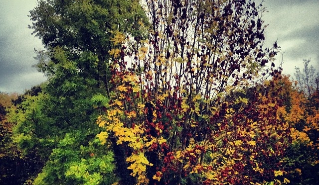 Our tree is definitely confused – one side is almost leaf free, the other still resolutely green…