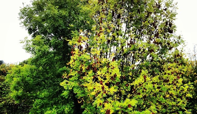 Half the tree has decided it's autumn and is losing leaves, the other half is resolutely green…